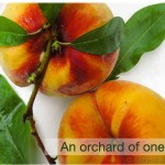 Autumn Peaches – An orchard of one