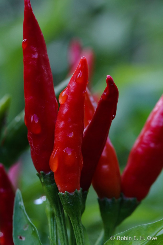 Red Thai Chili