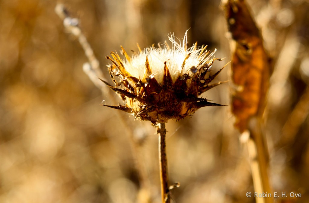 Golden Dried Thistle