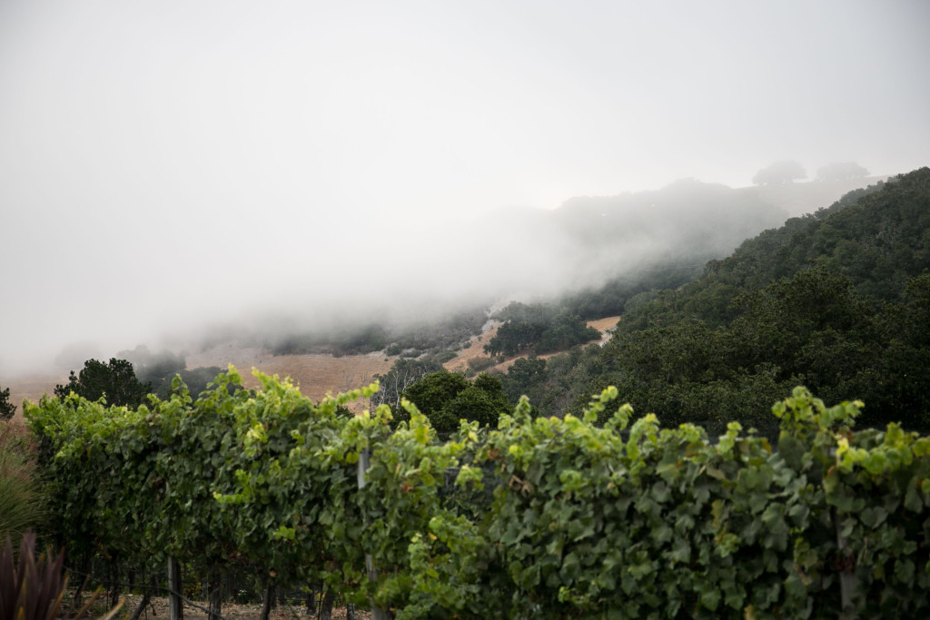 Holman Ranch Vineyard with Fog
