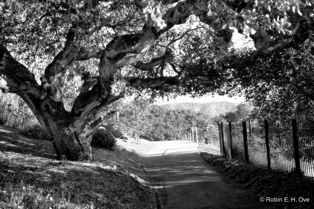Holman Ranch, Oaktree and path to vineyard.