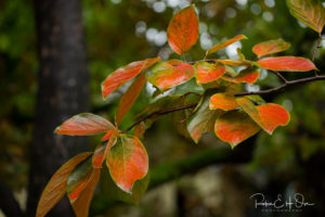 Persimmon Leaves © Robin E. H. Ove All rights reserved